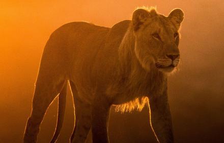 """""""Изчезващите крале – лъвовете на Намиб"""" - в най-старата пустиня на света по VIASAT NATURE"""