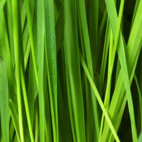 Екзотичната лимонова трева