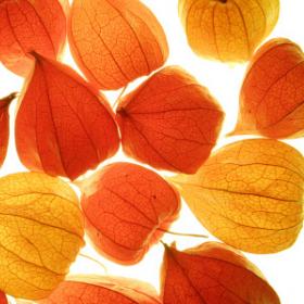 Физалис - какво, как и защо с това чудо на флората