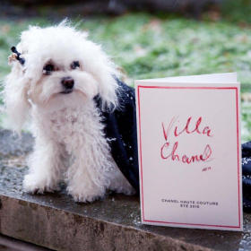 Варненското пуделче Саша стана сензация на ревю на Chanel