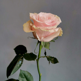 Цветята на малката Ида: Роза