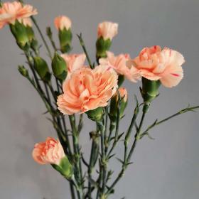 Цветята на малката Ида: Карамфил
