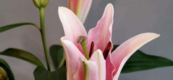 Цветята на малката Ида: Лилиум