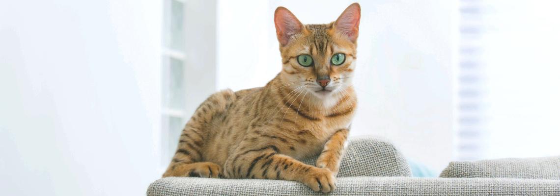 ТЪРСИ СЕ: най-дълголетната котка в България